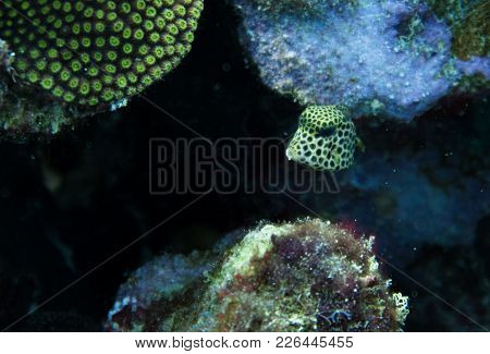 Lactophrys Triqueter Also Known As The Smooth Trunkfish, Is A Species Of Boxfish Found On And Near R