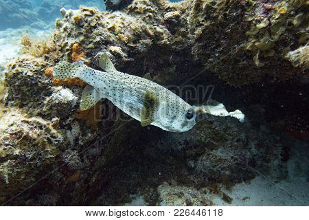 The Spot-fin Porcupinefish Is A Medium-sized Fish Which Grows Up To 91 Cm. Its Body Is Elongated Wit