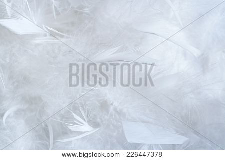 White Background Of A Lot Of Big And Little Feathers Of Feather Boa.