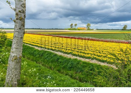 Middleharnis, The Netherlands -18 April 2014: Stunning, Vibrant Tulip Field With Farm House In The B