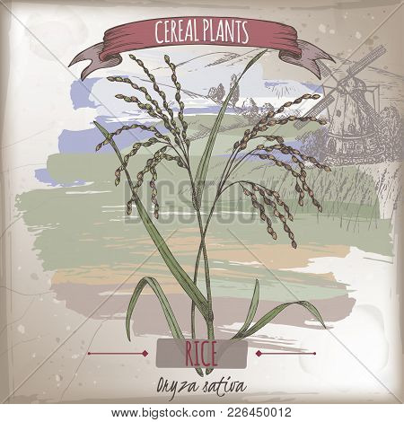 Asian Rice Aka Oryza Sativa Color Sketch With Field Landscape. Cereal Plants Collection. Great For B