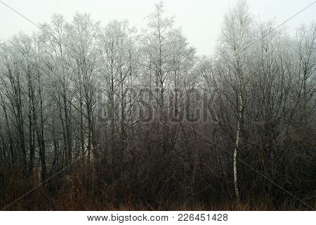 Snowless Winter Grove, Overgrown With Bushes, In Cloudy Foggy Weather
