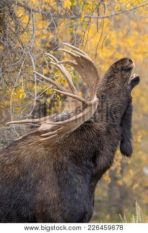 A Rutting Bull Shiras Moose In Wyoming In Autumn