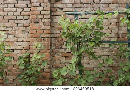 Vine Plant With Green Leaves On Red Brick Wall Background. Spring Or Summer Growth. Grapevine Climb