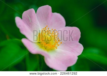 Dog Rose, Rosa Canina With Green Leaves, Beauty. Wild Rose Flower Blossoming On Shrub, Spring. Bloom