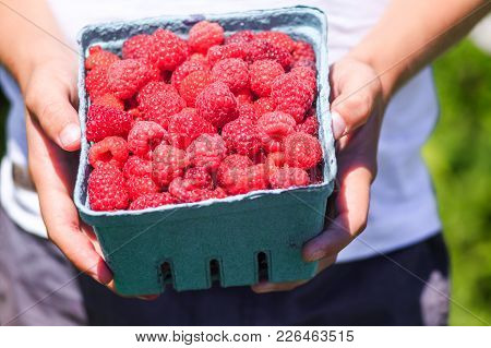 Child Holding A Box With A Raspberry. Picking Raspberries On The Farm. Close Up
