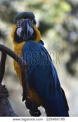 Blue And Gold Macaw Talking And Squawking.
