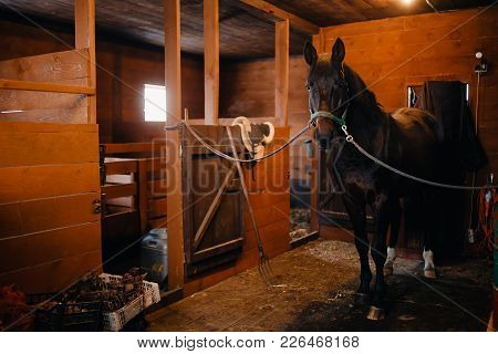 Horse In Stable Camp, Pen. Bridle, Struts Are Dressed, Preparing For Dressing Saddle.