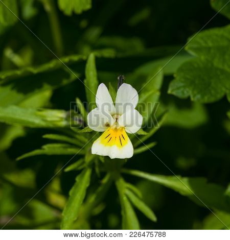 Flower Of Wild Heartsease Or Viola Tricolor Macro At Flowerbed, Selective Focus, Shallow Dof.