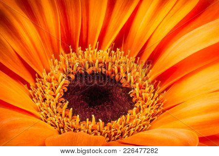 Orange Gerbera Flower Isolated On White Background. Macro Photography