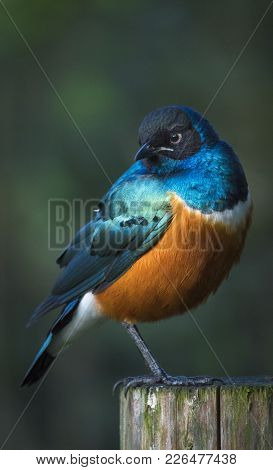 Superb Starling Lamprotornis Superbus With Blue And Orange Feathers Sitting On A Wooden Pole