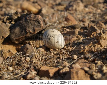 The Egg Of An Arizona Night Hawk. These Birds Tend To Nest On The Ground.