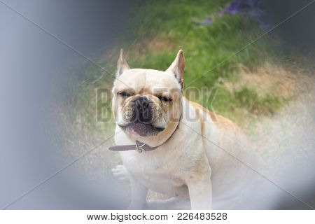 Young Cute French Bulldog Animal In The Cage