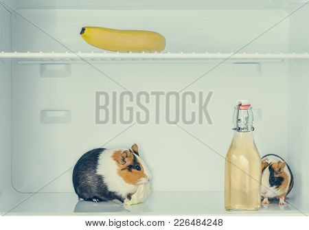 Two Red Little Guinea Pig In The Fridge With Banana And The Bottle