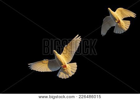 Pair Of White Pigeons From Below On A Black Background, Sacred Bird
