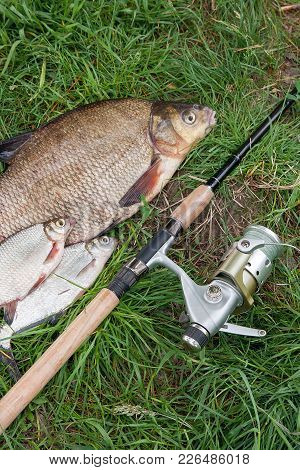 Big Freshwater Common Bream And White Bream Or Silver Bream Fish With Fishing Rod With Reel On Natur