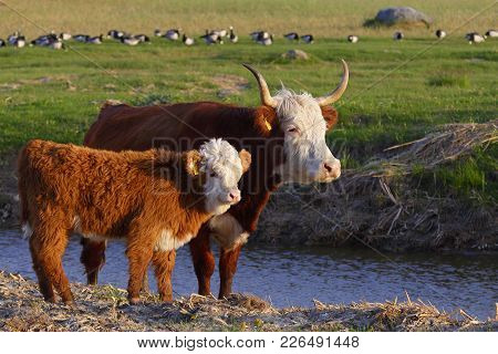 Young Hereford Cow With Calf On Grassland In Summer.