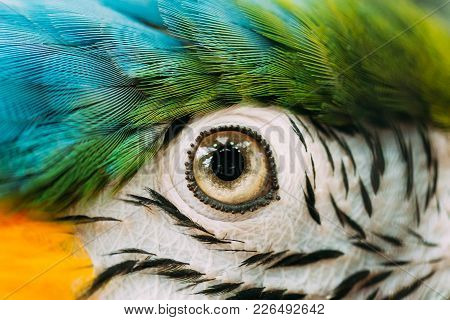 Eye Pupil Of Blue-and-yellow Macaw Also Known As The Blue-and-gold Macaw In Zoo. Wild Bird In Cage.