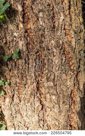 Closeup Shot Of A Hornbeam Tree Trunk With Ivy.  Natural Light.