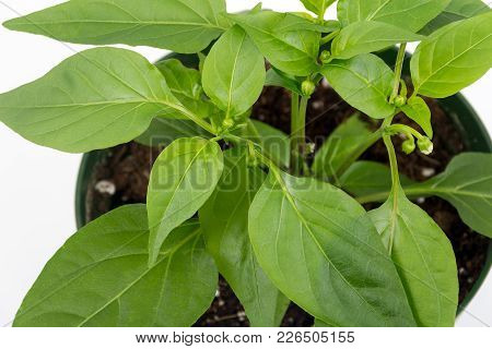 Thai Hot Chili Pepper Potted Plant Isolated Over White Background Flowering