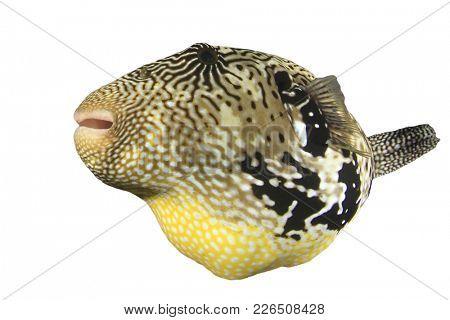 Puffer fish isolated. Map Pufferfish cutout on white background