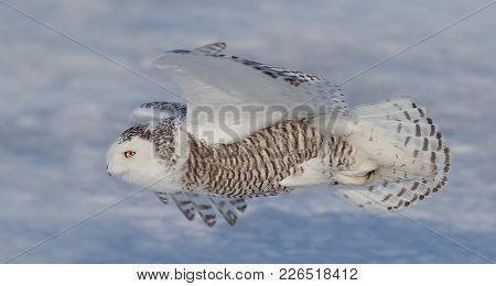 Snowy Owl (bubo Scandiacus) Flying Low And Hunting Over The Ice In Canada