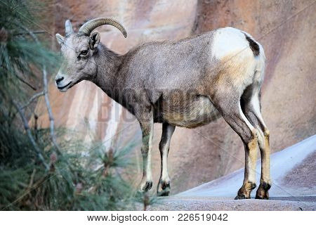 February 12, 2018 In Los Angeles, Ca:  Bighorn Sheep Roaming A Rugged Mountain Taken At The Los Ange