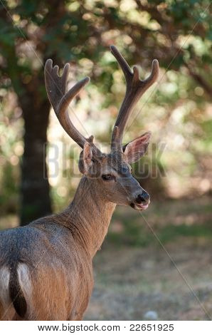 closeup of a male Black-tailed deer