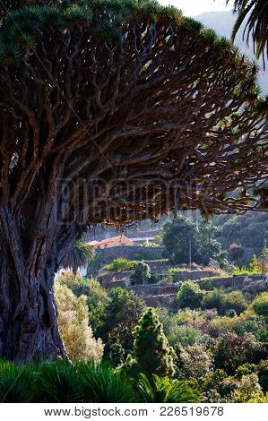 Tenerife Famous Dragon Tree In Icod De Los Vinos, Canary Islands. Spain. Close Up.