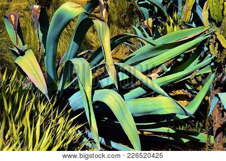 Agave Americana Plant Which Have Long Fleshy Leaves That Stores Water Taken In A Drought Tolerant Ga