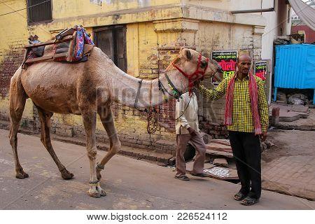 Agra, India - November 8: Unidentified Man Walks With A Camel In Taj Ganj Neighborhood On November 8