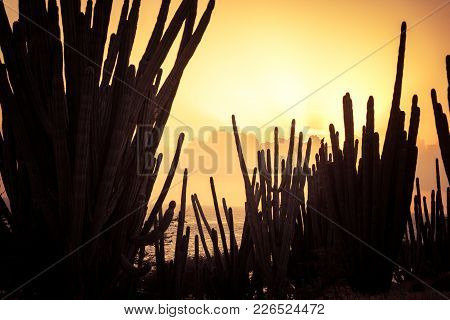 Cactus At Sunset Light In Aruba. Arid Landscape.