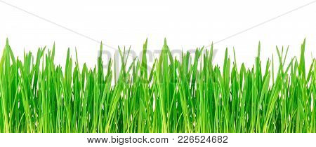 Spring Green Grass Isolated On а White Background. Seamless Grass Texture.