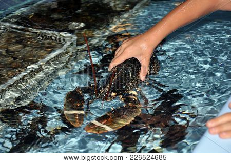 Lobster In A Restaurant Aquarium. Seafood. Concept Of Freshness Seafood.