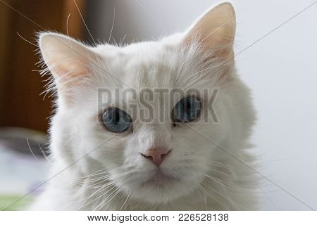 A Close Up Shot Of A White Cat.