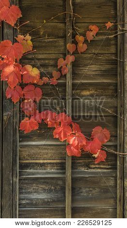 Japanese Red Ivy Leaves On Wooden Wall, Dereamy Chrismas Theme.