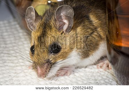 A Close Up View Of A Wild Brown House Mouse, Mus Musculus, Coming Out From Between A Jar Of Nuts, An