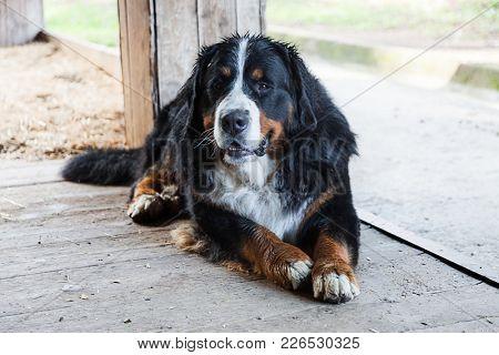 Bernese dog sitting on the veranda