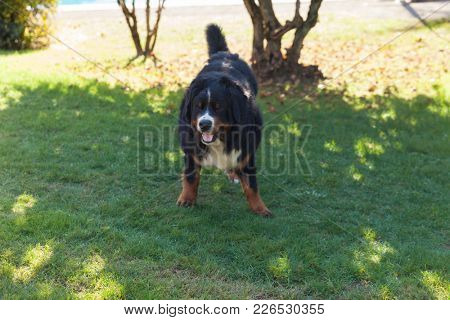 Bernese dog in the meadow