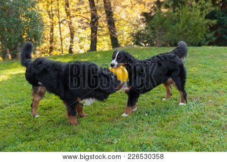 Bernese dogs in the meadow