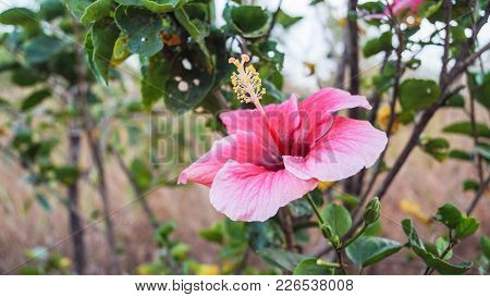 A Pink Hibiscus Also Known In India As The Shoe Flower In Bloom. Stamen Ready In Season For Cross Po