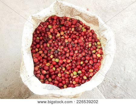 The Coffee Cherries Will Just Keep In Bag. It Arabica Coffee Bean To Plant At Tapsasdet, Chaingmai,