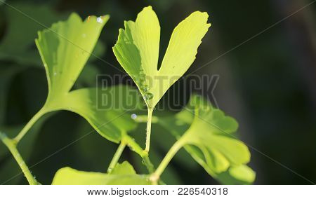 Reflection In Water Droplets On Young Leaves Of Ginkgo Biloba. Ginkgo Tree (ginkgo Biloba), Also Kno