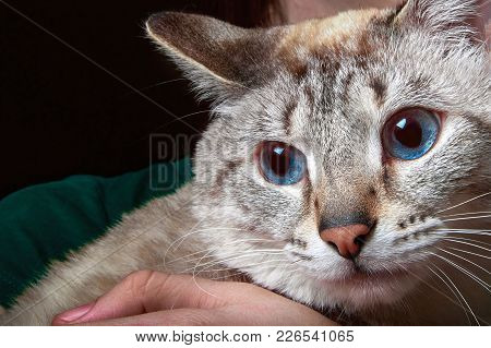 Portrait Of A Siamese Cat With Blue Eyes Sitting On His Hands.