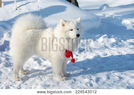 Beautiful Fluffy White Dog.
