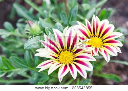 Beautiful Flower And Green Leaf Background In Flower Garden At Sunny Summer Or Spring Day. Flower Fo