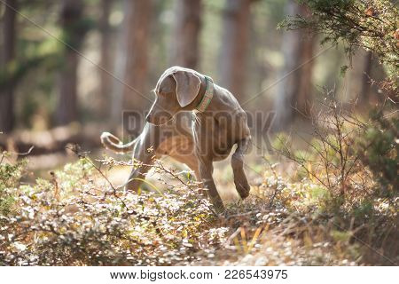 Beautiful Weimar Dog Pointing Gray On A Walk In The Woods Portrait