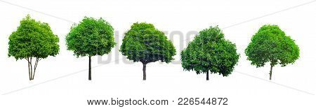 Collection Of Tree Isolated On White Background, Mimusops Elengi, Asian Bulletwood, Bullet Wood, Buk
