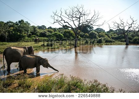 Two Elephants Are Drinking From The River On The Nature Background In Yala National Park On Sri Lank