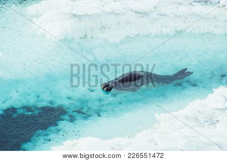 A Weddell Seal Swims Among Ice Near The Shore Of Ross Island, Antarctica.